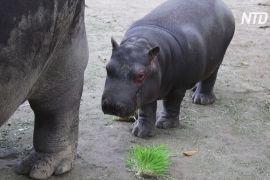У мексиканському зоопарку підростає дитинча бегемота