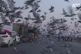 Китайські власники поштових голубів роблять ставку на перемогу