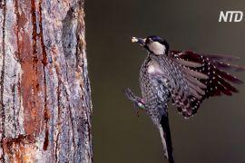 На південному сході США відновлюють ліси болотних сосен