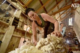 Дедалі більше австралійок іде вчитися на стригаля овець