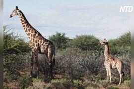 В Африці знайшли двох карликових жирафів