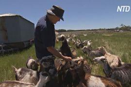 В Австралії досвідчені фермери вчать новачків розводити худобу