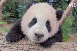 Не можу відпустити: відео з дитинчам панди й доглядачем набрало 4 млн переглядів