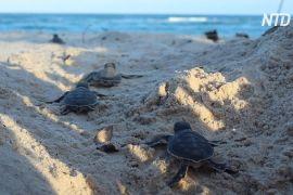Чому на південному узбережжі Кенії тепер вилуплюється більше черепах