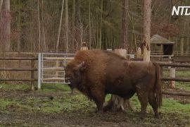 До Великої Британії планують привезти стадо зубрів і шукають для них рейнджера