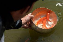 В'єтнамці перед Новим роком випускають в озера коропів