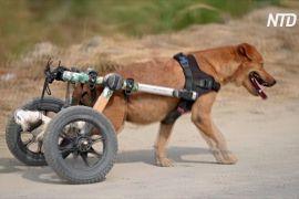 У Таїланді собаки з інвалідністю бігають за допомогою колясок