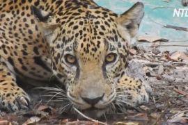 Фотопастки у гватемальських джунглях зняли життя ягуарів