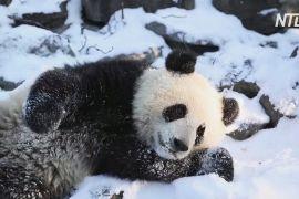 У бельгійському зоопарку панди-близнюки вперше граються на снігу