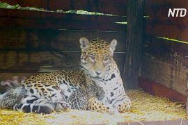В Аргентині самка ягуара, що живе в неволі, навела дитинчат від дикого самця
