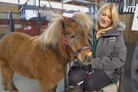 У США мініатюрні коні-терапевти перейшли на віддалену роботу