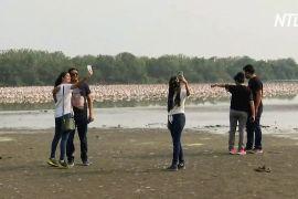 В Індії колонії рожевих фламінго приваблюють шанувальників природи