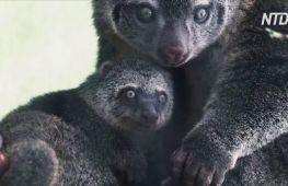 У рідкісних ведмежих кускусів у Вроцлавському зоопарку народилося дитинча