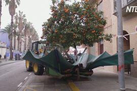Відео з трактором, який трусить апельсинові дерева, стало популярним в інтернеті
