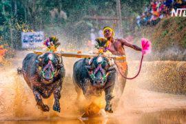 Індійці влаштували перегони буйволів з нагоди кінця збору врожаю