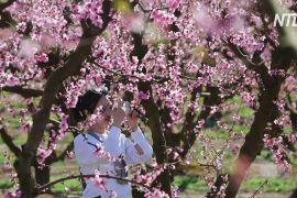Квітучі фруктові сади в Іспанії приваблюють туристів