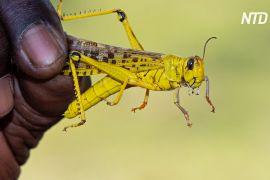 Відсіч сарані: у Кенії корми й добрива роблять із комах
