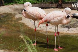 У болівійському зоопарку вдруге приносять потомство рідкісні андські фламінго