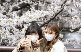 Токійців виманює на вулиці квітуча сакура