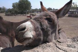 Притулок для ослів: у Мексиці рятують в'ючних тварин від жорстокого поводження