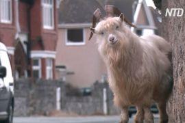 Дикі кози розгулюють британським містечком: плюси й мінуси такого сусідства