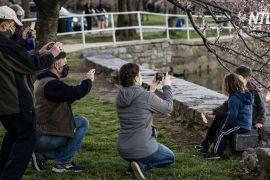 Квітуча сакура ознаменувала початок весни у Вашингтоні