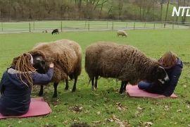На німецькій фермі дозволяють обніматися з вівцями, щоб забути про самотність