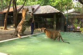 Як у зоопарку Таїланду тигрів рятують від спеки