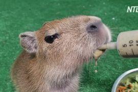 Доглядачі колумбійського зоопарку виходили покинуте дитинча капібари