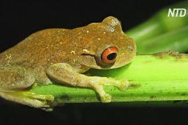 Як бактерія костариканських жаб допоможе перемогти смертельний грибок