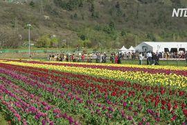 Найбільше поле тюльпанів в Азії приваблює туристів до Кашміру