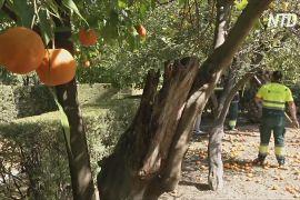 Севілья відроджує традицію дарувати британській королеві апельсини на мармелад