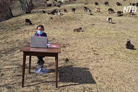 Уроки в товаристві кіз: італійська школярка відвідує онлайн-заняття із пасовища