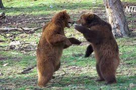 Ведмеді бельгійського зоопарку розминають лапи після зимової сплячки
