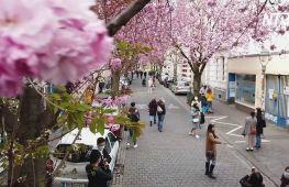 Вулиці Бонна вбралися в рожеві шати з вишневих квітів