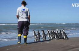 В Аргентині вилікували й повернули в океан 12 пінгвінів магеланських