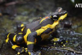 Рідкісних панамських жаб уперше вивели в неволі