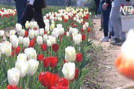 Італійці насолоджуються весною на тюльпановому полі