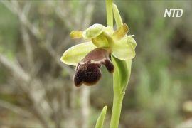 В іспанській Малазі росте 52 види орхідей, однак ботаніки й далі шукають нові