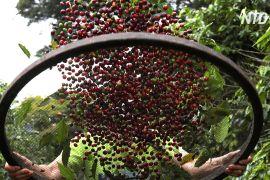 Збір урожаю кави в Бразилії розпочався з міської плантації в Сан-Паулу