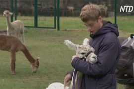 Кози й альпаки допомагають британським школярам відновлювати психічне здоров'я