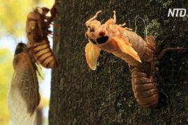 Трильйони періодичних цикад вилазять на поверхню землі в США