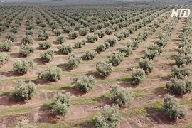 Стародавні оливкові гаї Андалусії сподіваються додати до списку ЮНЕСКО