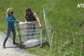У Швейцарії волонтери допомагають фермерам захистити худобу від вовків