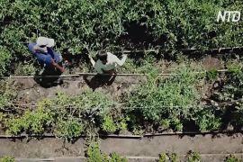 Громадський город у Коста-Риці допомагає жителям впоратися з пандемією