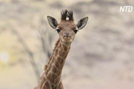 Французький зоопарк вітає друге дитинча жирафи за рік