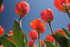 Мільйони тюльпанів зацвіли під Києвом