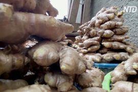 Суперпродукт під час пандемії: бізнес нігерійки процвітає завдяки вирощуванню імбиру