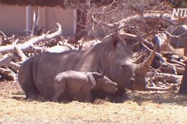 Дитинча південного білого носорога народилося в ізраїльському зоопарку