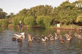 Кубинець 20 років дружить із пеліканами